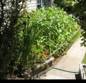 07) corn