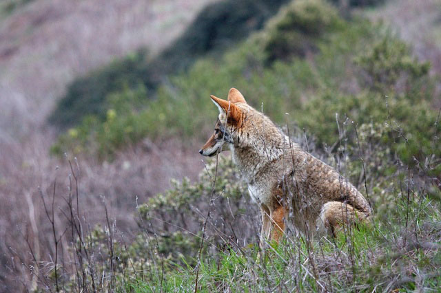 what coyotes thinks about « Coyote Yipps