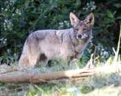 coyote watches defensively as an antagonistic dog & walker approach