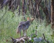 coyote spots squirrels