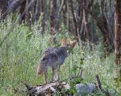 coyote spots squirrels