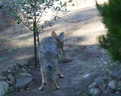 "the ""fish"" catches the coyote's eye or nose"
