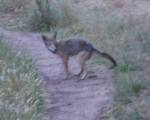a coyote poops on the path (is this for my benefit?)