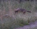 coyote leaps in to join his brother