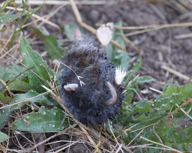 the dead mole was just picked up & then dropped on the first day
