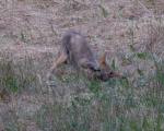 second day a coyote lowers self on the mole neck first