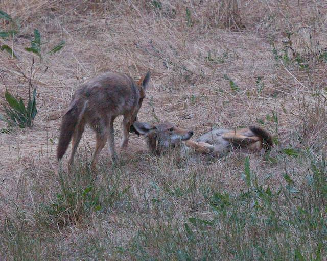 second coyote swipes the mole when it gets a chance