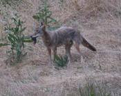 second coyote picks up the mole, but then drops it and trots off