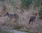third coyote heads towards the mole and picks it up