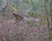 third coyote wallows on the mole