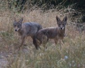 both coyotes head back to where the mother had been