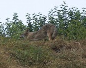 #1: coyote stretches, a gesture of calm departure