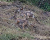 #1: dogs give chase, so young coyotes run