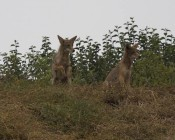 #1: alpha on left bucks up as dogs approach, younger coyote watches