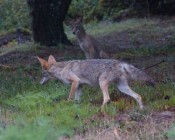 Sequence #2: alpha coyote goes to warn a dog off -- the dog got too close