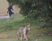 #2: alpha coyote turns back after walker sees it & leashes