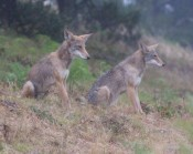 Sequence #3: coyotes watch a runner approach on a little-used path