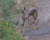 Sequence #4: a dog & walker arrive as coyotes watch; one walks towards the dog