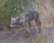 "#4: alpha coyote then comes out to give a clear message ""leave us alone"""