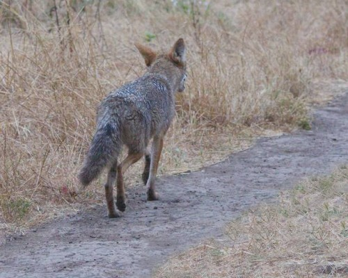 #4: alpha coyote follows dog & walker a few paces to make sure they've left