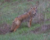 Same coyote as previous two in January!