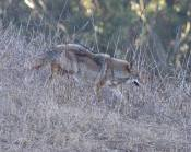 mother coyote with hackles up after chasing off the dog which went after her pup