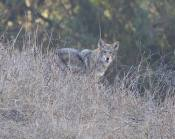mother coyote, hackles still up after chasing off a dog