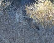 young coyote observing the dog and owner from the distance