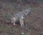 dominating coyote #1 sits as less dominant coyote #2 moves off