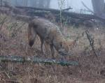 less dominant coyote #2 sniffs a spot, then urinates on it & moves on