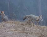 after marking, dominating coyote #1 moves away