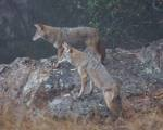 dominating coyote #2 again follows, seemingly to take over