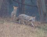 dominating coyote #1 again walks towards less dominant coyote #2 who keeps his gaze diverted from the first one