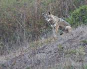 young coyote watching as Mom barks nearby