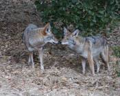 less dominant guy approaches the dominant coyote eating a vole