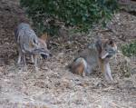 less dominant coyote sits down to watch dominant guy eat a vole