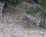 less dominant coyote walks away after dominant coyote finishes eating