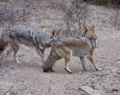 dominant coyote gets up to pursue the less dominant coyote