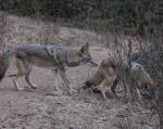 less dominant coyote walks off, but is pursued by the dominant one