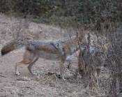 dominant coyote begins to get aggressive