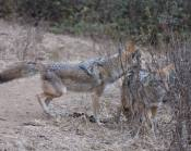 dominant coyote attempting to dominate the less dominant one