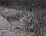 less dominant coyote has had it: he snaps viciously in anger