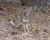 less dominant coyote walks to spot where he sits & watches the dominant leave