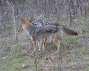 intimidated coyote gets the message