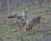 intimidated coyote runs off