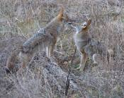 dominant coyote again lords it over his sibling