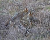 intimidated coyote w/ears back diverts his gaze