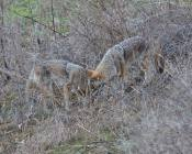 both coyotes, together, mutually occupied