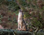 the howling turns to barking when a hostile walker & dog appear in the distance