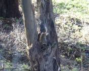 coyote jumps high into a tree after the squirrel